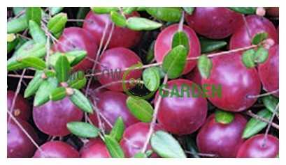 Клюква крупноплодная выращивание 4